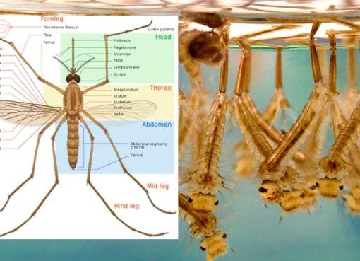 Stechmücke (Culex pipiens)