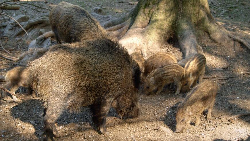 Wildschweine - Sus scrofa