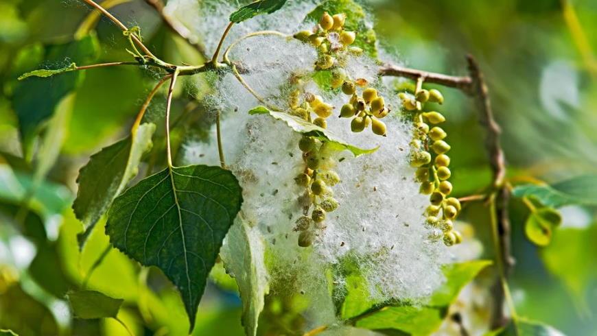Blatt und Blütenstände der Schwarzpappel mit Samen- und Fruchtwandfasern – Foto: Pixabay