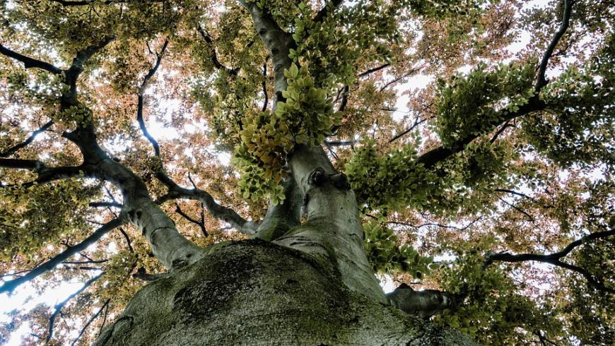 Naturdenkmal Buche